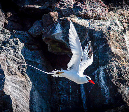Red Biller Tropic Bird