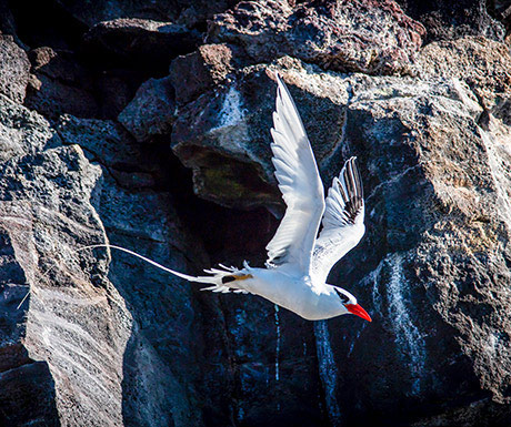 Red Biller Tropic Bird