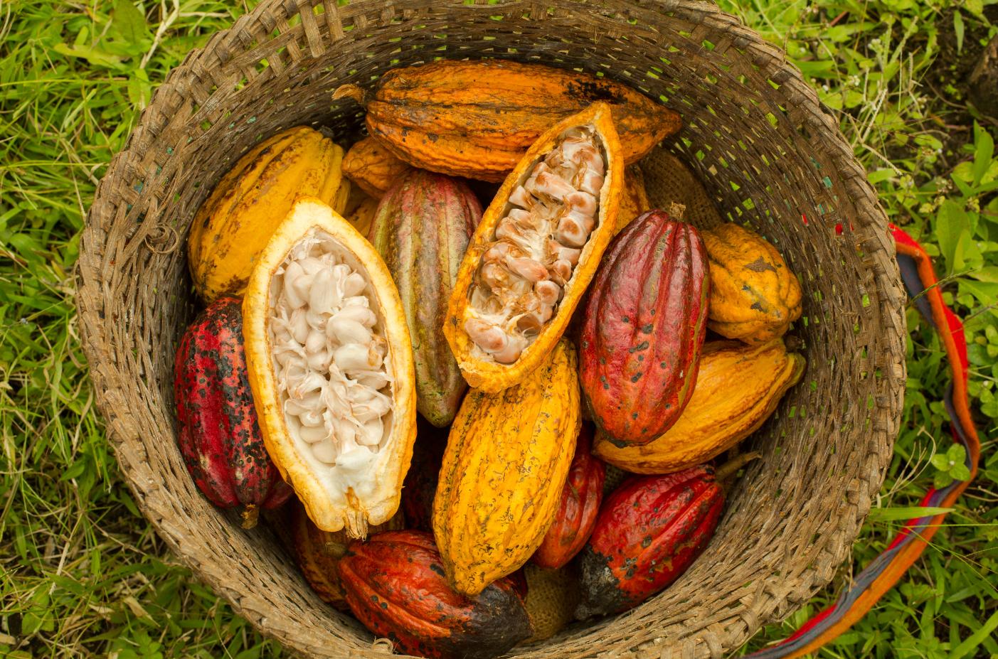 Resultado de imagen de plantaciones de cacao en ecuador