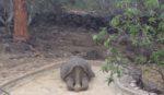 El Regreso del Solitario Jorge: Una Tortuga Gigante Regresa a Casa