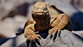 Iguana de Santa Fe