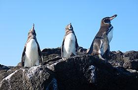 Pingüinos de las Islas Galápagos