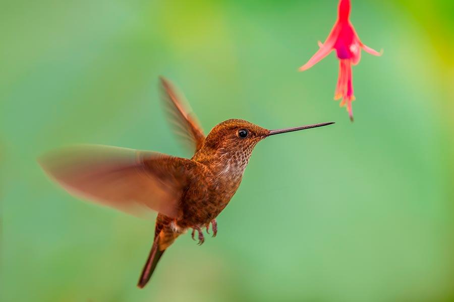 Bronzy Inca es un colibrí que habita en San Isidro, Ecuador